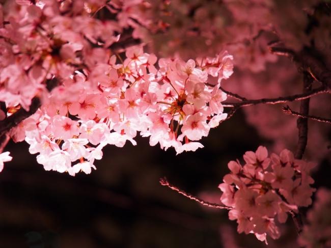同じ枝に、早期に咲く花芽と後期に咲く花芽が二段構えにできる