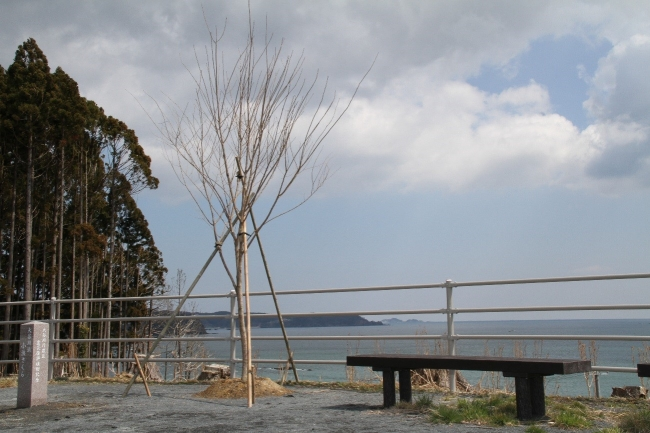 岩手県にある桜の成木と石柱