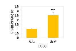 ▲図2 EGCGの表皮角化細胞垂直分裂活性化機能