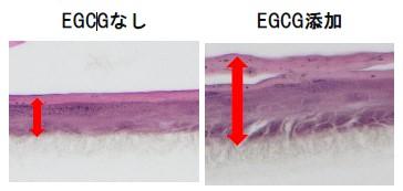 ▲図3 EGCGの表皮モデル角層促進