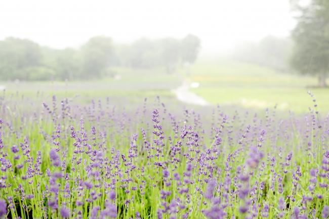 中咲き『ナナナリサワ』も見頃(7月9日撮影)