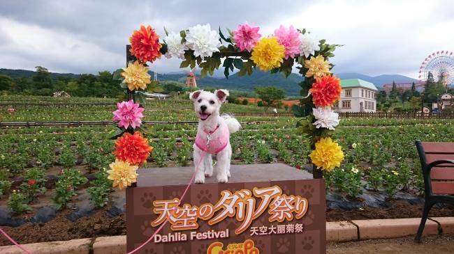 写真は昨年のダリア祭りの様子