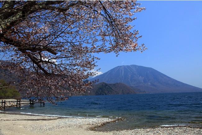 中禅寺湖畔の千手ヶ浜に咲くオオヤマザクラ