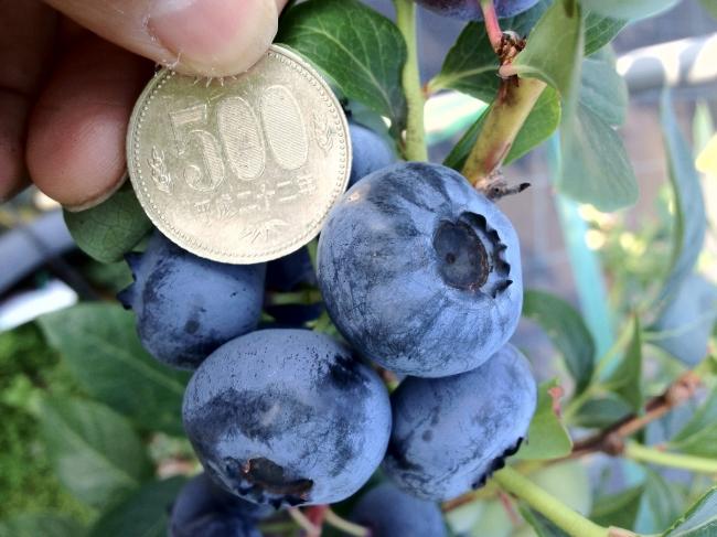 500円玉大のブルーベリーが収穫できることも