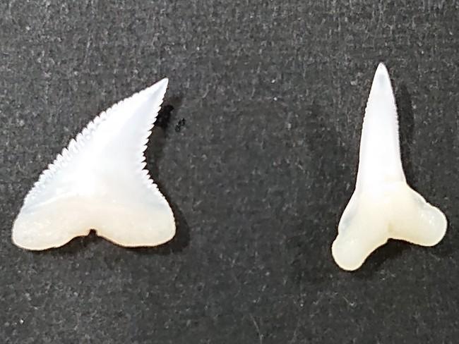 ヨシキリザメの歯