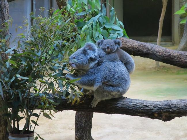 コアラの赤ちゃん(右)の名前が「りん」に決定