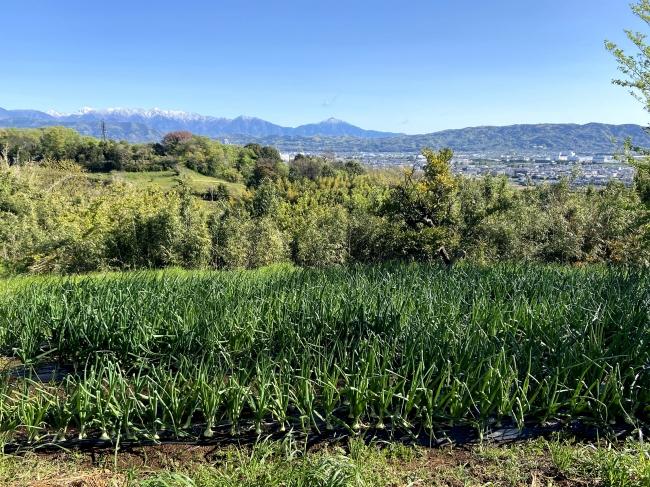 地元小田原で栽培しています