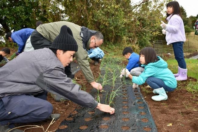 玉ねぎの苗の植え付け作業