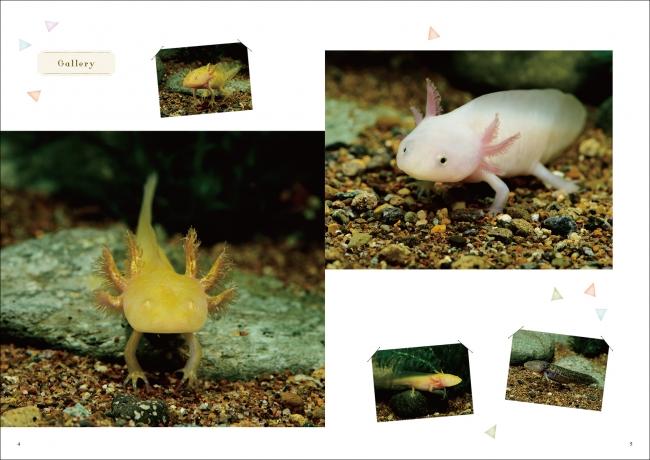 ウーパールーパー 繁殖