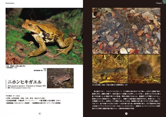 ニホンヒキガエルの画像 p1_8