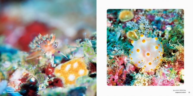 (左)アデヤカミノウミウシ/(右)コンペイトウウミウシ