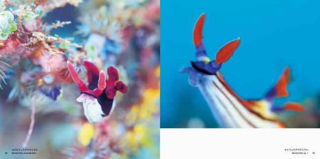 (左)セグロリュウグウウミウシ/(右)セトリュウグウウミウシ