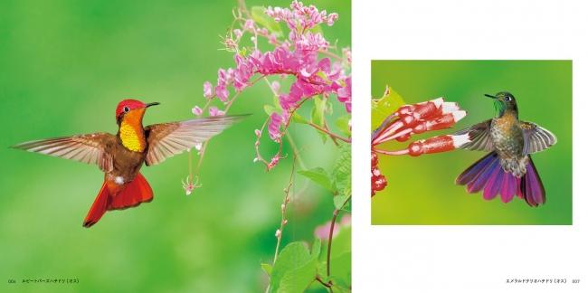 ハチドリの画像 p1_6