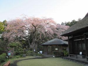秩父宮記念公園の枝垂れ桜
