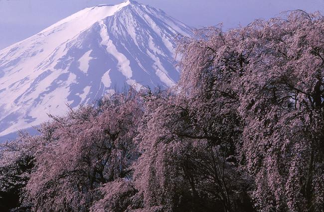 山梨県勝山村(現富士河口湖町)から「桜と富士」撮影:竹内敏信