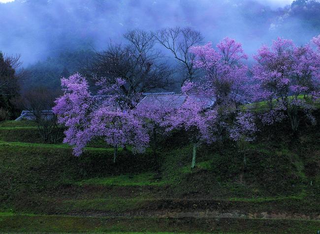 高谷良子「桜時雨」