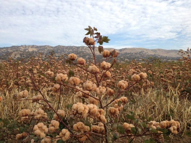 茶色の綿花