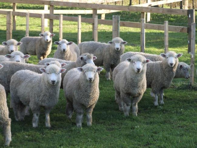 「ホゲット」羊イメージ