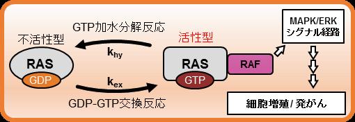 図1:RASのヌクレオチド結合サイクルと下流のシグナル伝達経路