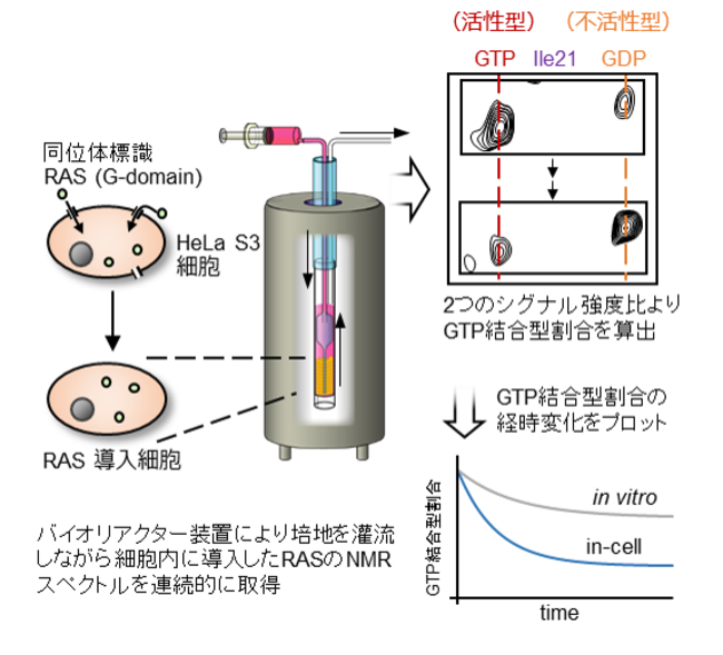 図2:リアルタイム細胞内NMR観測法と本研究での実験の概要