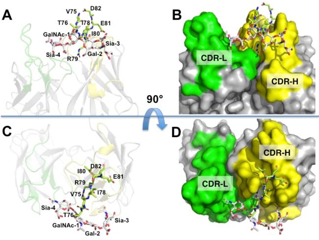 図3:糖ペプチドとLpMab-3-Fabの相互作用 黄緑色のスティックがアミノ酸残基、白色のスティックが糖分子を表す。アミノ酸は抗体中の重鎖(CDR-H)、糖は軽鎖(CDR-L)と結合している。AとBは横から、CとDは上から結合部を見た様子