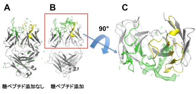 図1:抗体と糖ペプチドの結合部分の立体構造 相補性決定領域(重鎖(黄色)と軽鎖(緑))について、糖ペプチドを添加しないもの(A)と、添加したもの (B、C) の構造を比較した。B、Cにのみ緑色の網掛けで示す部分が観察され、糖ペプチドの結合の様子が示唆された