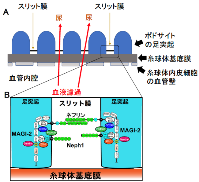 図1.血液蛋白の最終濾過バリアの模式図 A. スリット膜がふるいのような構造になっていて、血液中の蛋白が尿に出ないようになっている B. MAGI-2はスリット膜蛋白(ネフリン、Neph1)の 配置を決めている