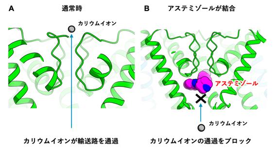 図2 hERGチャネルにアステミゾールが結合する様子