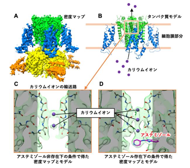 図1 今回の研究で明らかになったhERGチャネルの密度マップおよび hERGとアステミゾールの複合体構造のタンパク質モデル