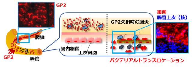 図1.膵臓から分泌されるGP2が細菌感染から体を防御する仕組み