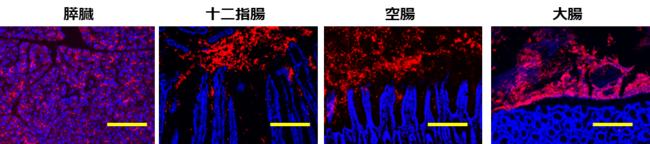 図2. 膵臓から分泌され腸管管腔に流れるGP2(GP2、組織細胞(核))スケールバー100mm