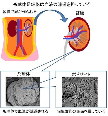 腎臓内での糸球体足細胞(ポドサイト)の役割