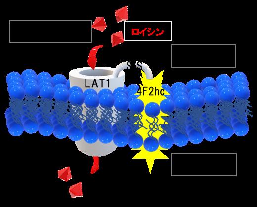 図1 LAT1-4F2hc の模式図。がん細胞の中に必須アミノ酸を運ぶ役割をしている。