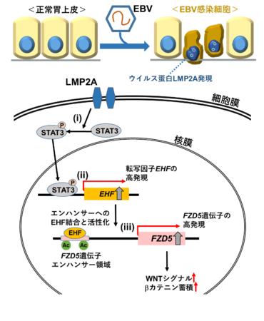 EBウイルスが感染した胃細胞の癌化 i. ウイルス蛋白LMP2Aの発現によりSTAT3がリン酸化される。 ii. リン酸化STAT3の下流であるEHFが高発現する。 iii. 転写因子EHFの下流であるFZD5が高発現するなどWNTシグナルが活性化する。