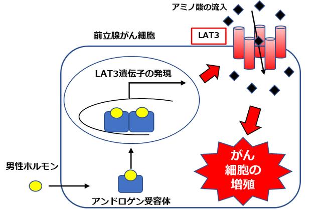 図1 前立腺がんにおけるアミノ酸トランスポーターLAT3の模式図。 男性ホルモン(アンドロゲン)の刺激でがんの進行に関わる。