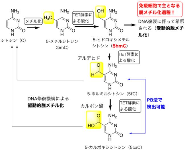 図2.DNAシトシンメチル化と脱メチル化