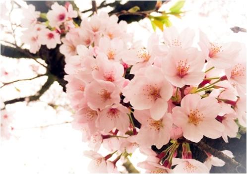 竹田市 岡城桜まつり