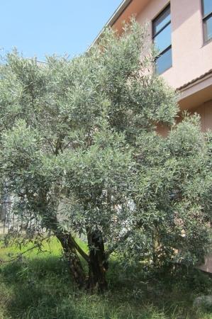 事務所前庭のプラトンゆかりの樹