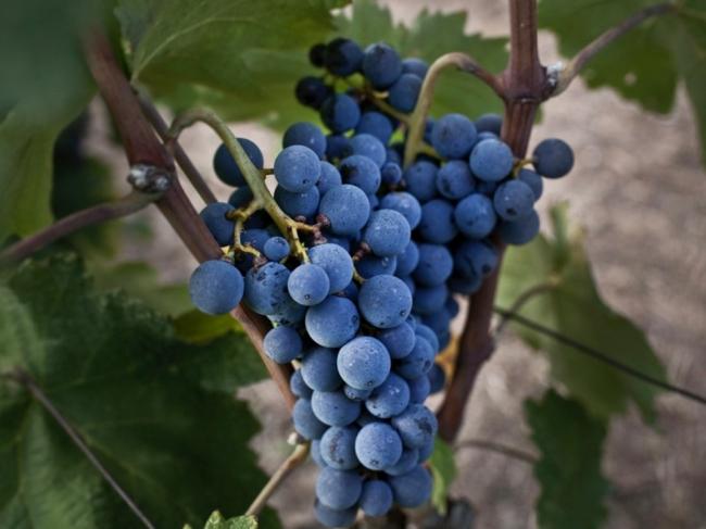 ブドウ品種「クシノマヴロ」