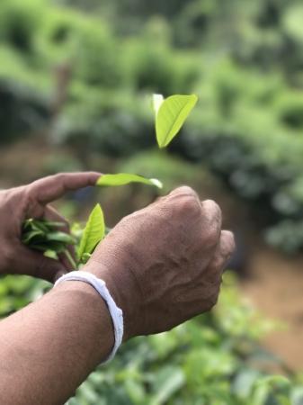 スリランカ・ルンビニ茶園の選別手摘み茶葉