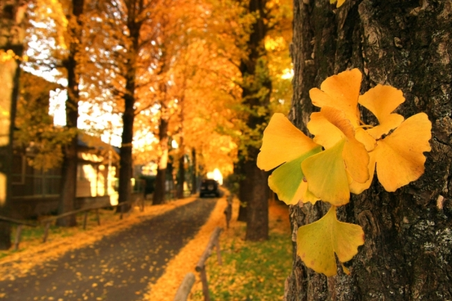明治神宮外苑付近の秋のイチョウ並木