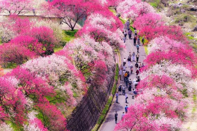 日本一の桃源郷【花桃の里】