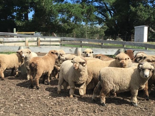天然羊毛图像