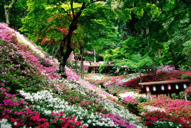 今年創建1300 年を迎える基山町の大興善寺は、  4 月中旬から5 万本のツツジが見頃になる。