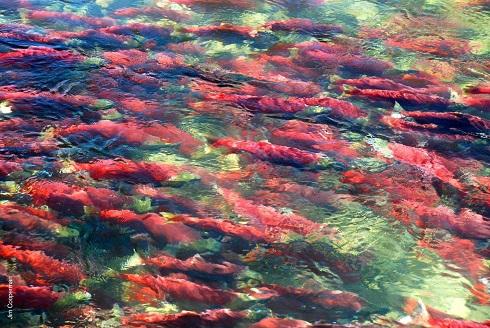 遡上する紅鮭(イメージ) (C)MJO Tours