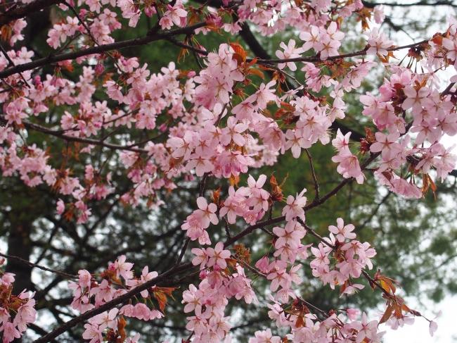 4月25日時点の大通公園の桜の様子