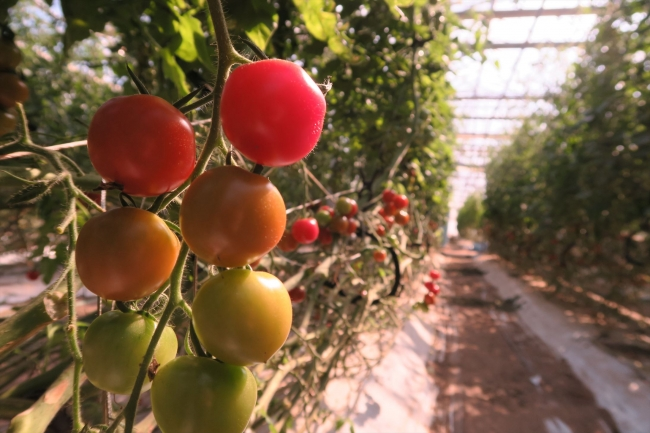 「マルセンファーム」のトマト農場