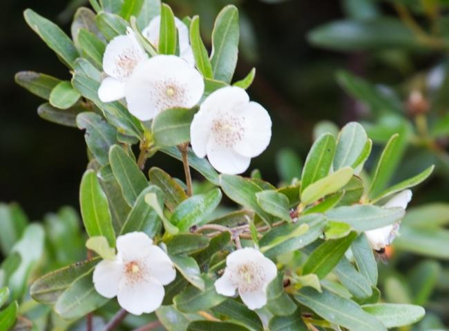 レザーウッドツリーの花