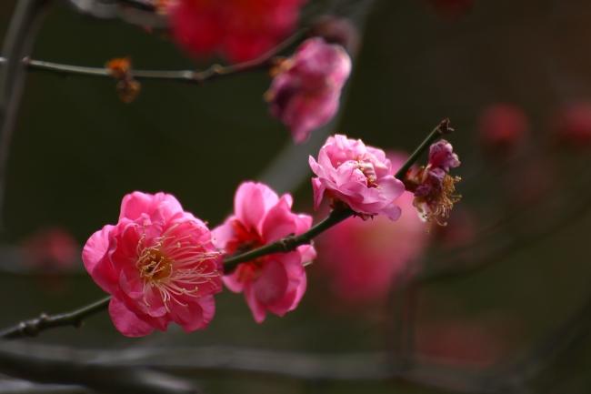 八芳園の庭園を彩る紅梅