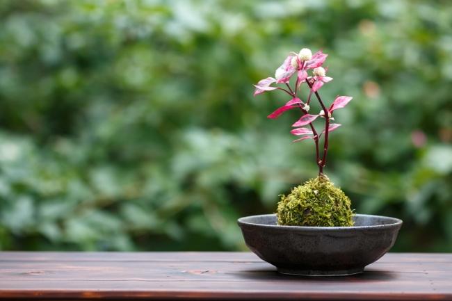 桜の苔玉づくり